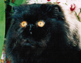 Black Persian Male