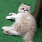 Jazz the Persian Kitten