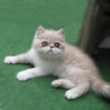 Jazz the Persian Kitten