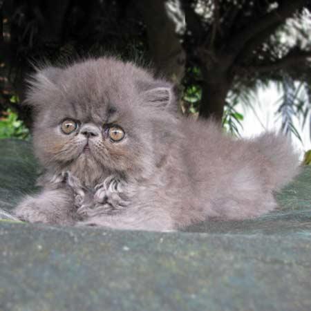 rumble the persian kitten