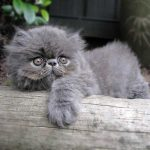rumble the persian kitten