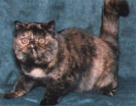 Tortoiseshell Exotic cat