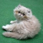 truffle persian kitten