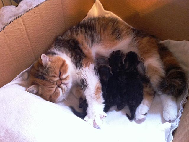 mother cat with three kitten suckling