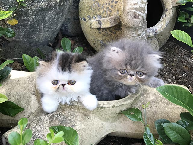two persian kittens in garden